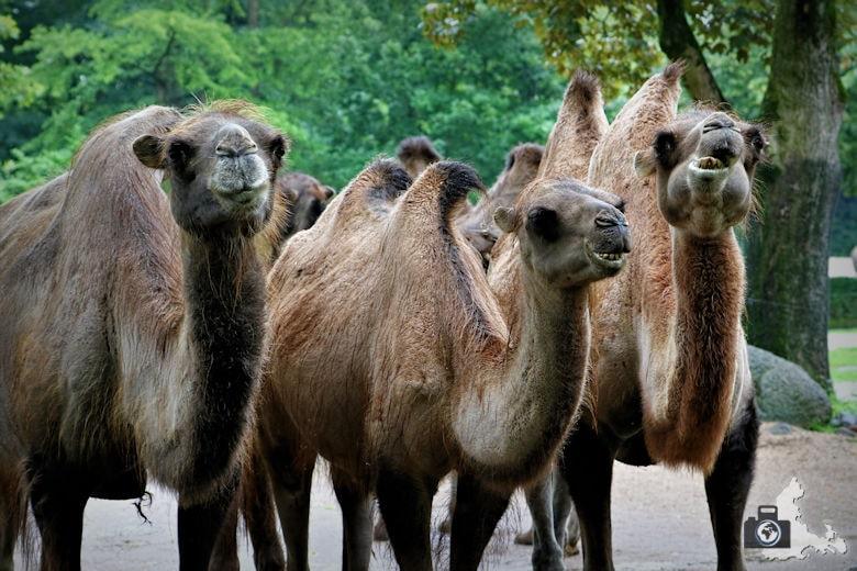 Kamele im Tierpark Hagenbeck in Hamburg