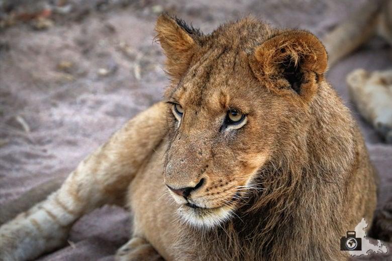 safari-loewe-fotogramm