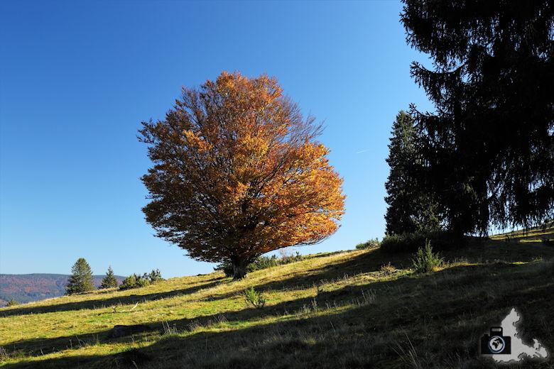 Ibacher Panoramaweg - Herbstlicher Baum