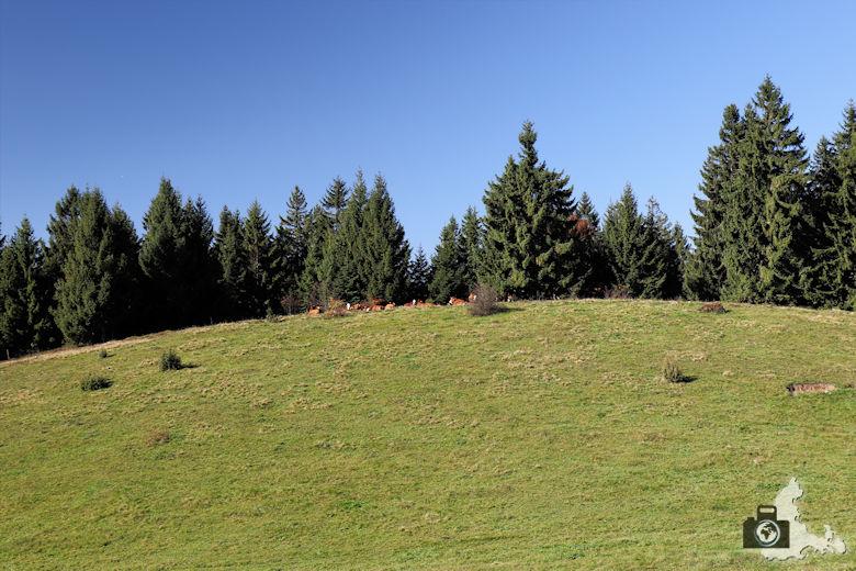 Ibacher Panoramaweg - Kühe