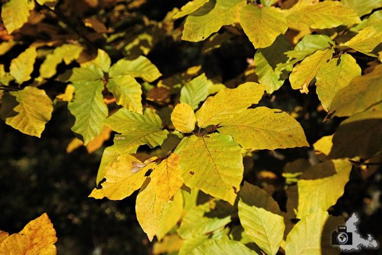 Ibacher Panoramaweg - Bunte Blätter im Herbst