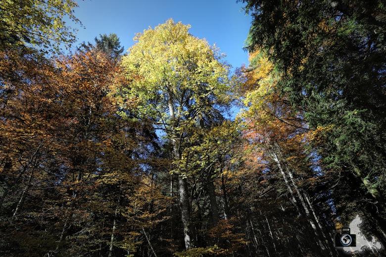 Ibacher Panoramaweg - Bäume im Herbst