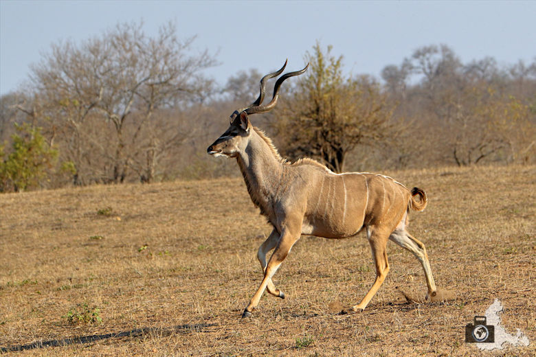 Safari im Krüger Nationalpark - Kudu