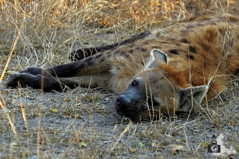 Safari Südafrika - Hyäne