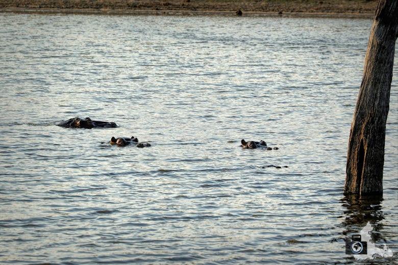 Safari Südafrika - Flusspferde