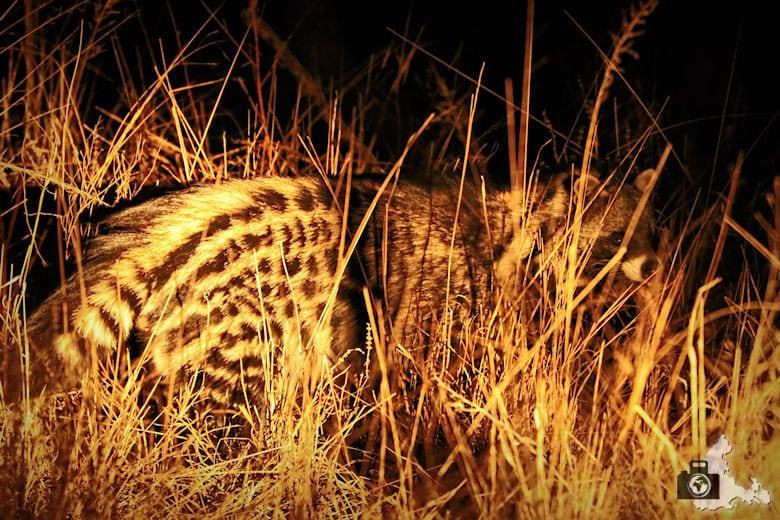 Safari Südafrika - Afrikanische Ziebelkatze