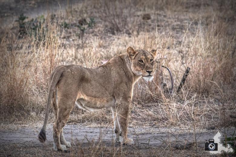 Safari Südafrika - Löwe