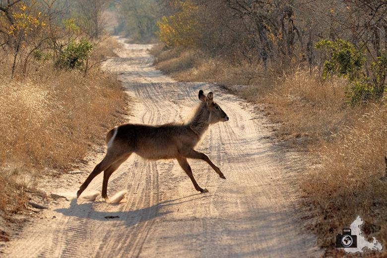 Safari Südafrika - Springbock
