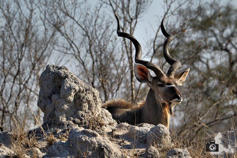 Safari Südafrika - Kudu