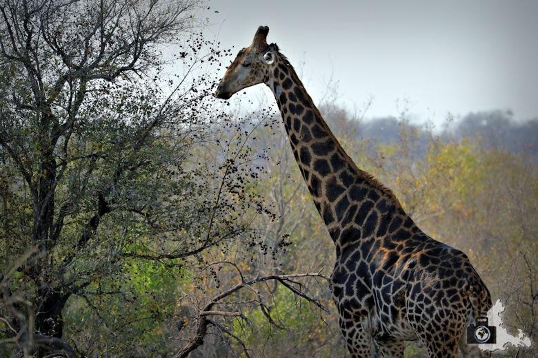Safari Südafrika - Giraffe