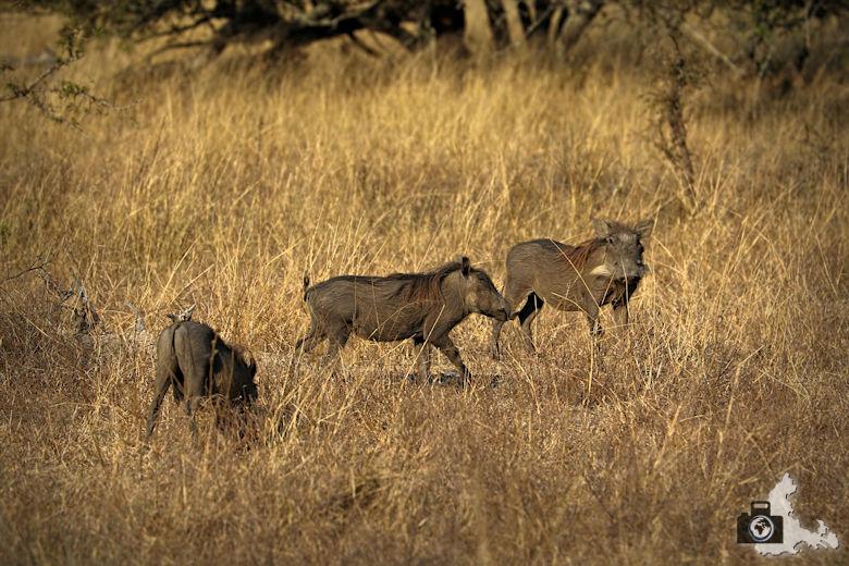 Safari Südafrika - Warzenschweine