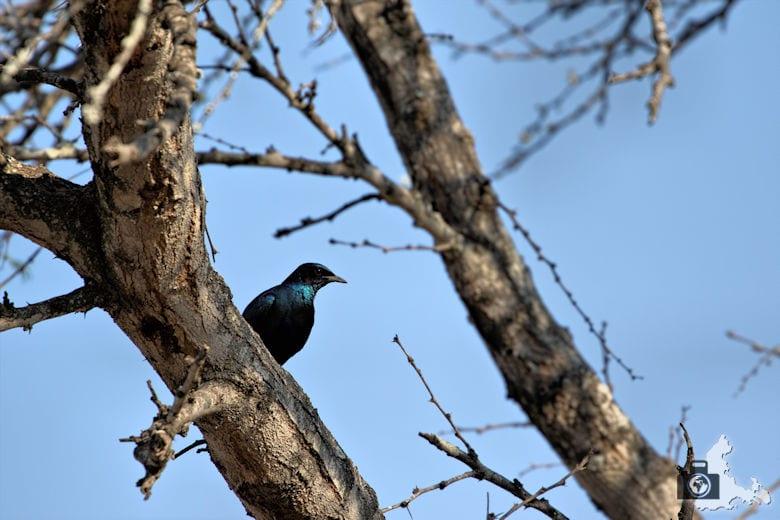 Safari Südafrika - Glanzstar
