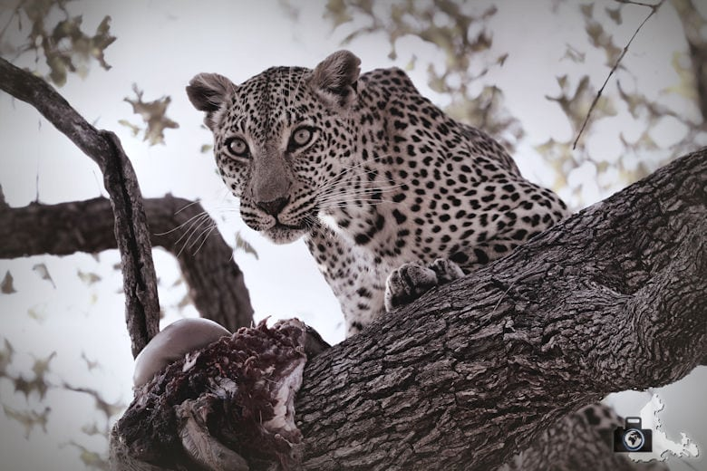 Safari Südafrika - Leopard auf Baum frisst Antilope