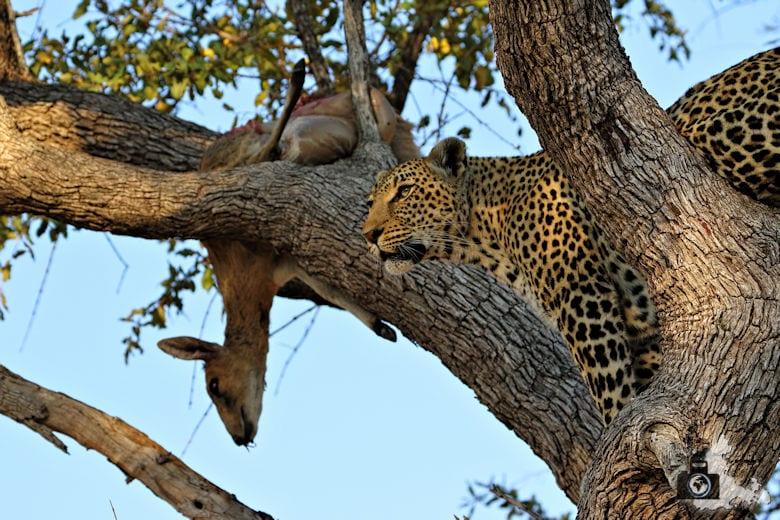 Safari Südafrika - Leopard auf Baum