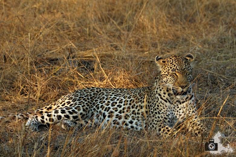 Safari Südafrika - Leopard im Gras