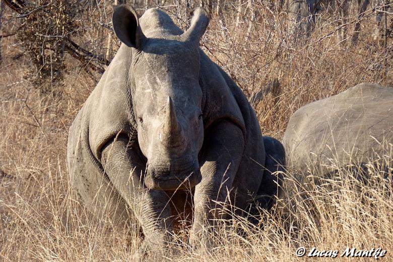 Safari Südafrika - Weißes Nashorn