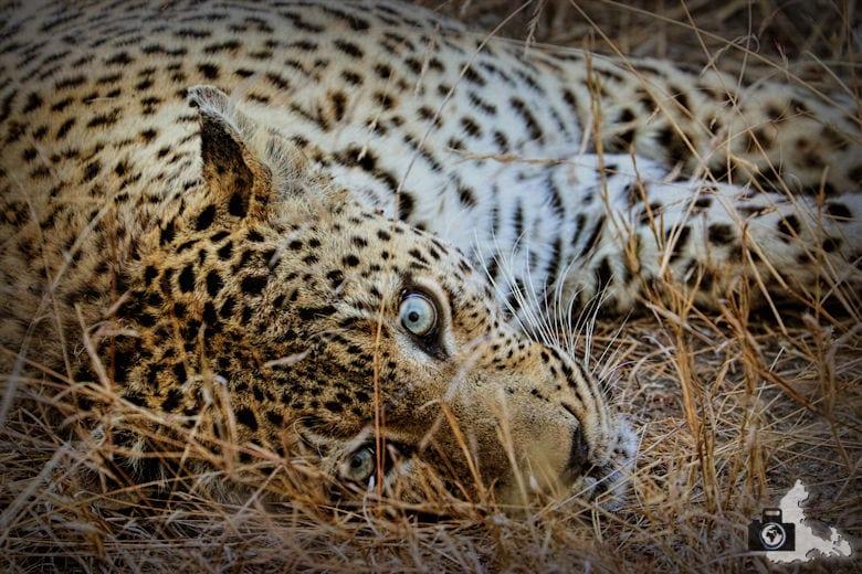 Auf Safari - Leopard liegt im Gras