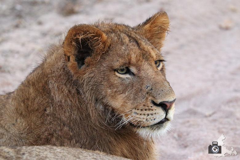 Auf Safari - Löwe