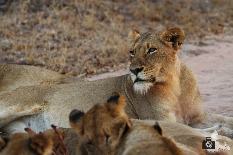 Auf Safari - Löwen fressen ein erlegtes Zebra