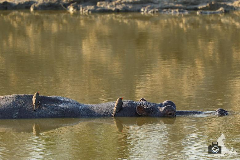 Auf Safari - Flusspferd
