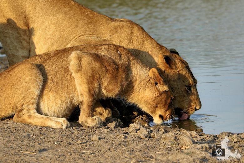 Auf Safari - trinkende Löwen am Wasserloch