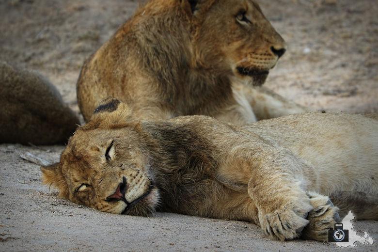 Auf Safari - Löwen