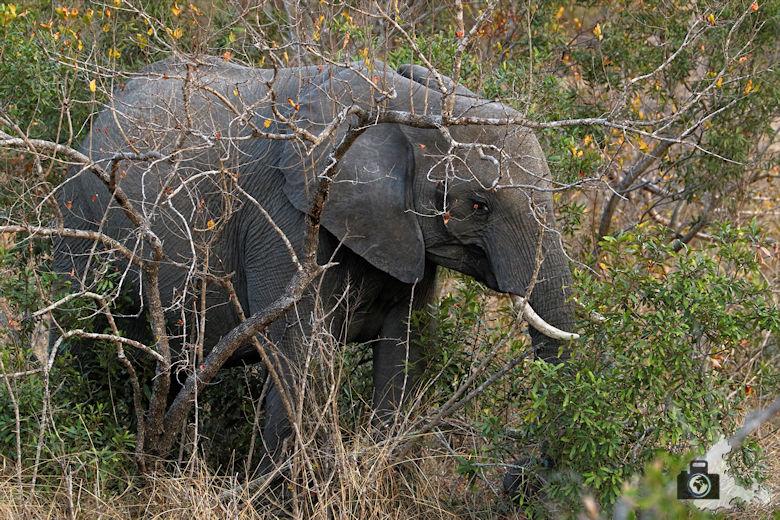 Auf Safari - junger Elefant