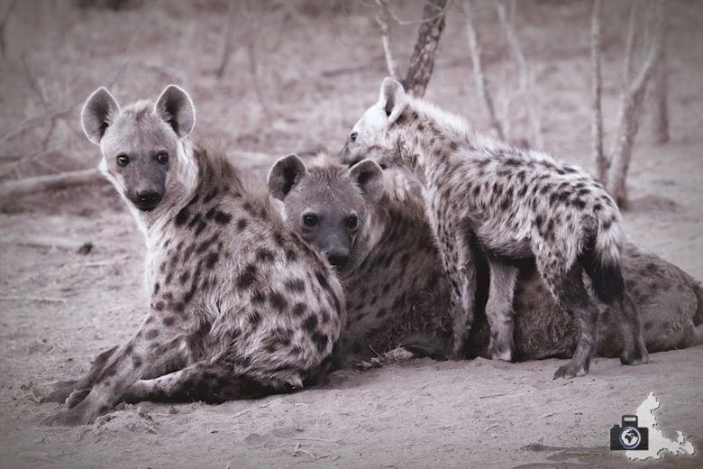 Auf Safari - Hyänen