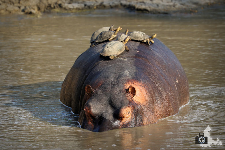 Auf Safari - Flusspferd mit Schildkröten auf dem Rücken