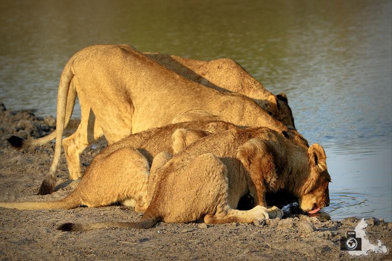 Auf Safari - trinkende Löwen