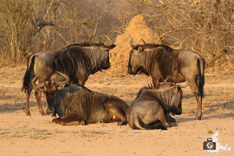 Auf Safari - Gnus