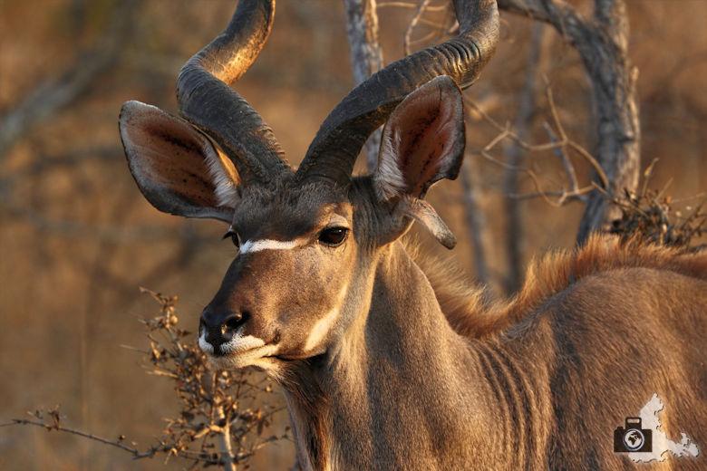 Auf Safari - Kudu