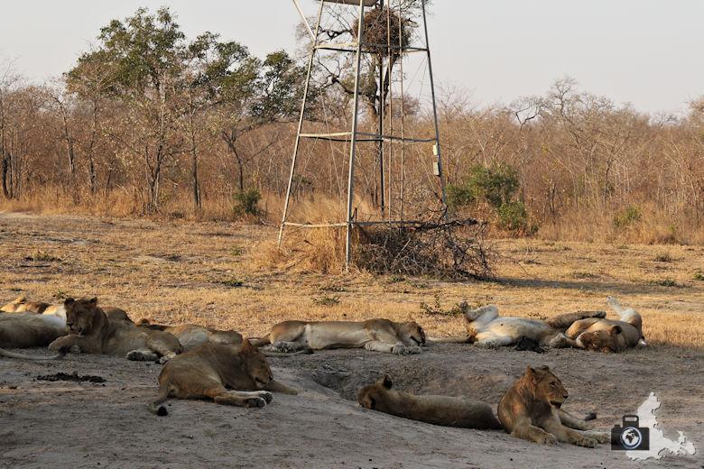 Auf Safari - schlafende Löwen