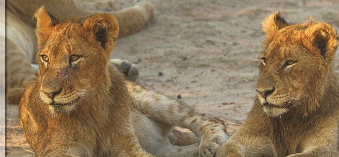 Reisebericht Südafrika Safari - Löwen, Flusspferd, Elefanten