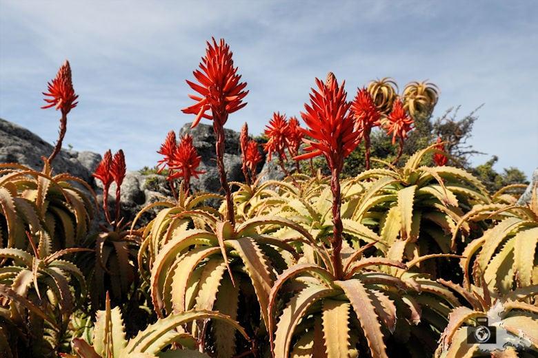 Kapstadt - Blumen auf dem Tafelberg