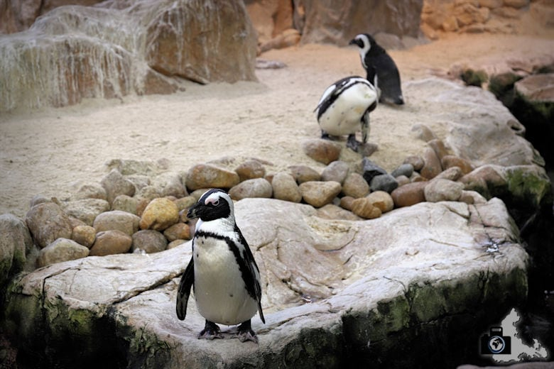 Kapstadt - Pinguine im Two Oceans Aquarium