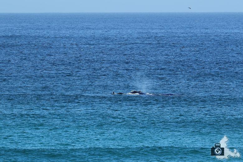 Südafrika - Wale am Kap der Guten Hoffnung