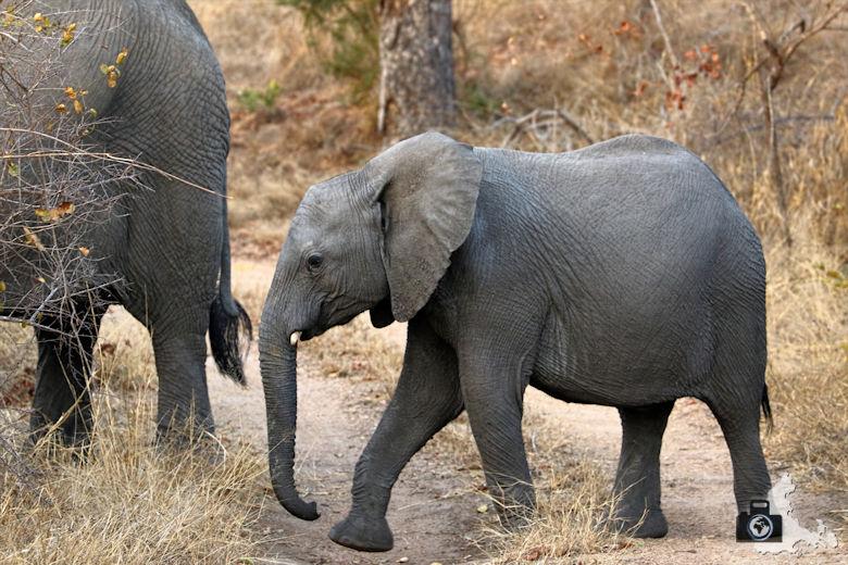 Afrikas Big Five - Elefant