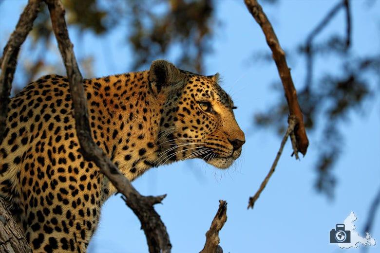 Afrikas Big Five - Leopard