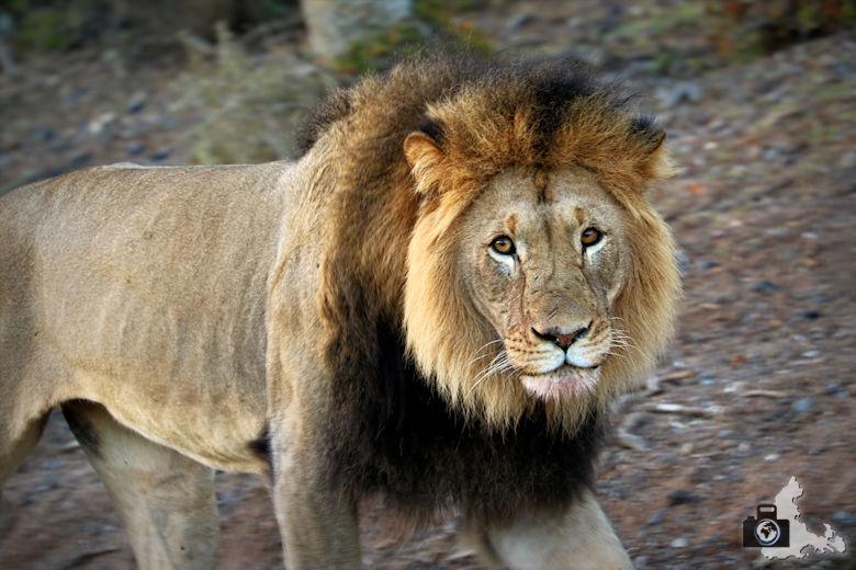 Afrikas Big Five - Löwe
