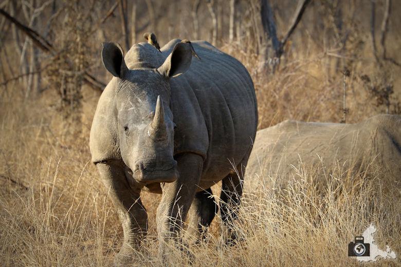 Afrikas Big Five - Nashorn