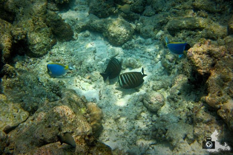 Schnorcheln vor Ukulhas um Fische unter Wasser zu beobachten
