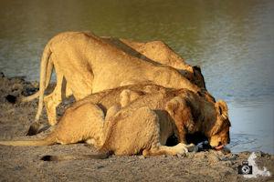FotoJuwel - Durstige Löwen