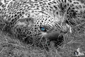 FotoJuwel - Leopard im Gras