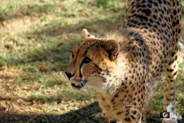 Cango Wildlife Ranch - Gepard