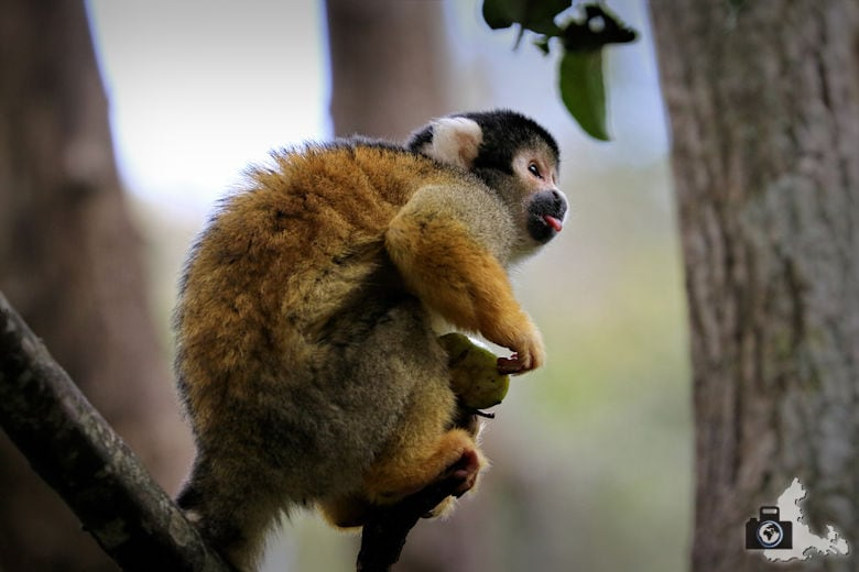 Monkeyland, Garden Route, Südafrika - Totenkopfaffe