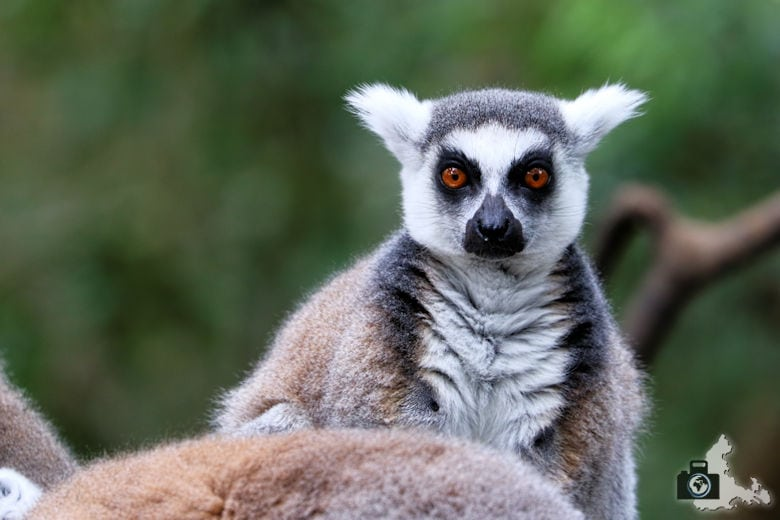 Monkeyland, Garden Route, Südafrika - Katta