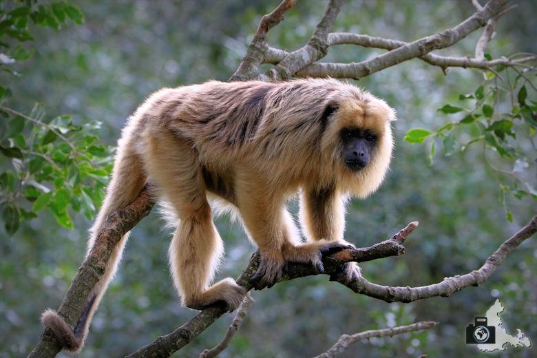 Monkeyland, Garden Route, Südafrika - Brüllaffe Monster