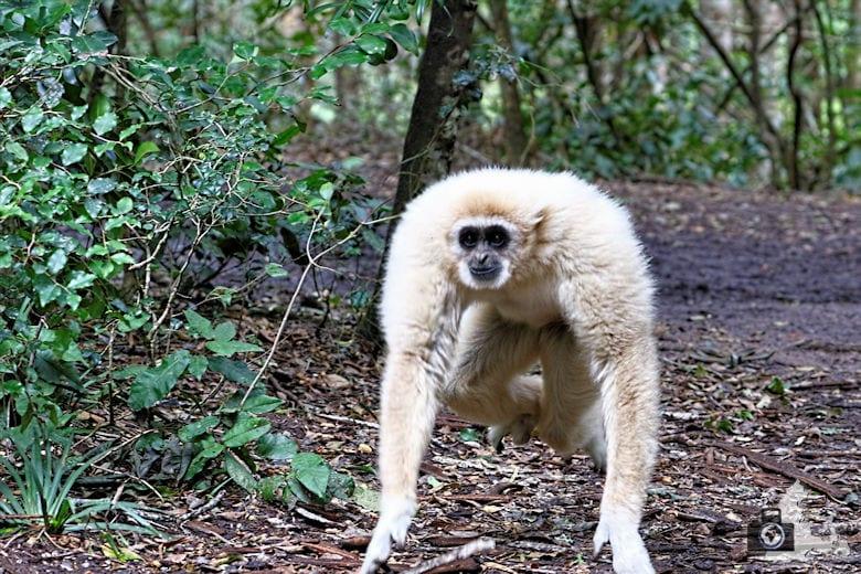 Monkeyland, Garden Route, Südafrika - Gibbon
