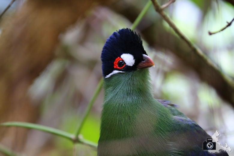 Birds of Eden, Garden Route, Südafrika - Hartlaubturako